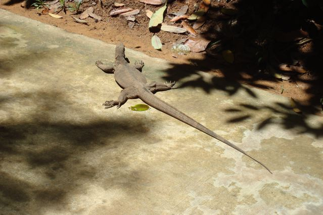 Mr Monitor Lizard having a sun-bath on the forest path