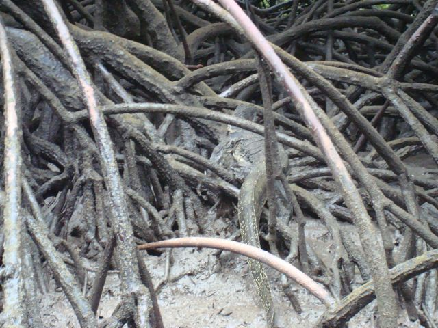 Monitor lizard among mangrove roots