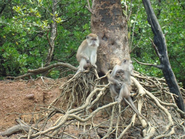 Mangrove monkey family