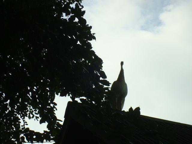 Peacock on a hot tin roof