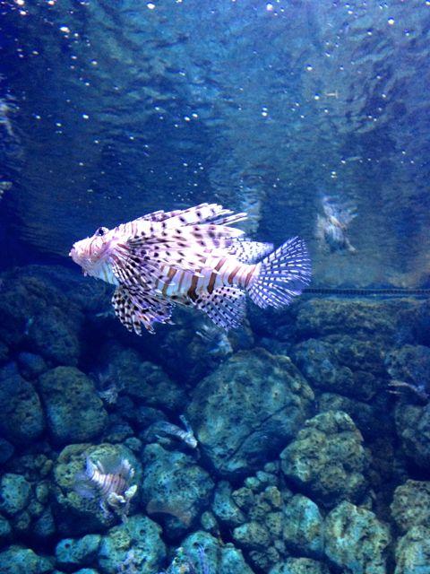 scorpionfish!!